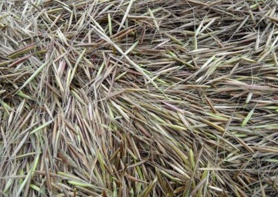 The raw green wild rice. It takes approximately two pounds of green wild rice to equal one pound of finished wild rice. This is because the moisture content is so high in the green rice.